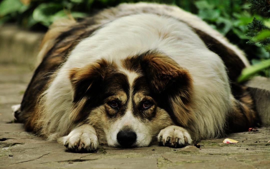 The Modern Epidemic of Dog Obesity
