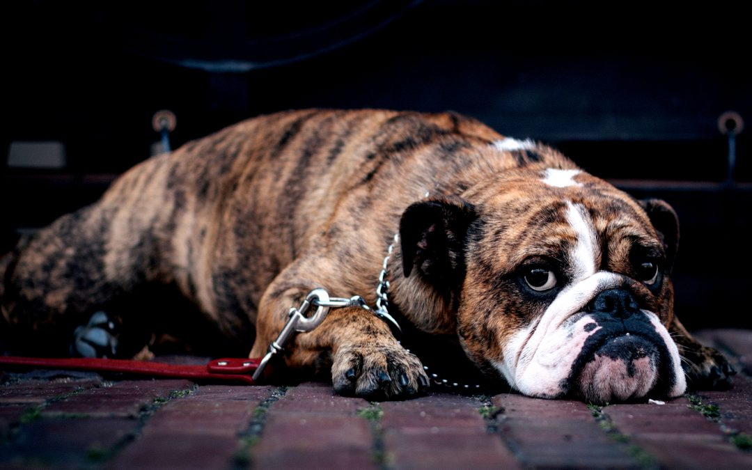 Less Than 10% of Pet Parents Recognise That Their Dog is Overweight