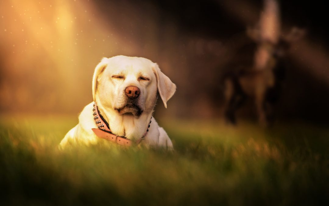 Natural Joint Supplement for Senior Dogs