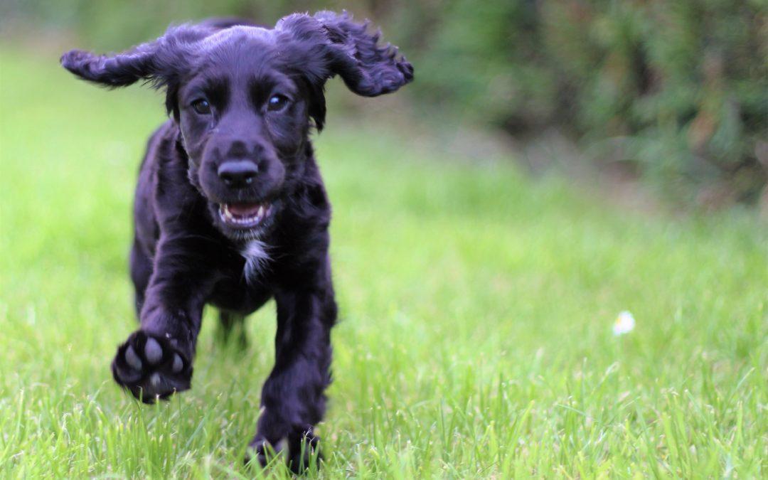 Dog Pancreatitis Explained
