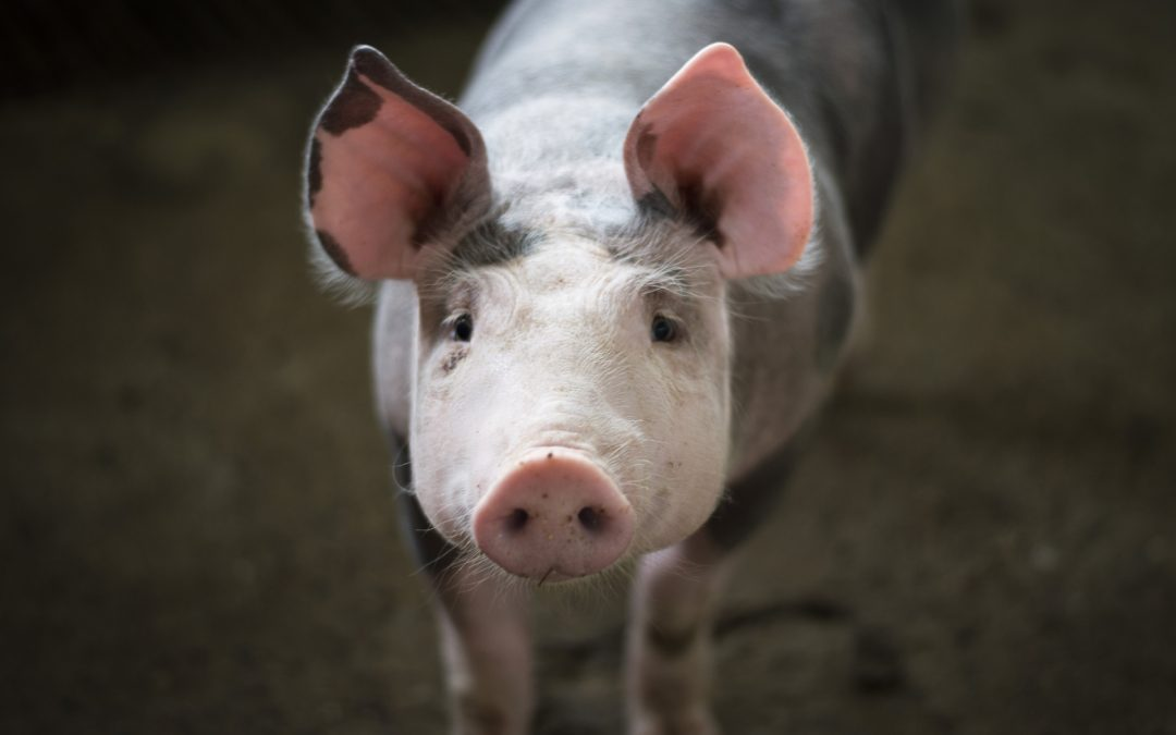 Why Pigs Ears Might be Better Left on the Pig