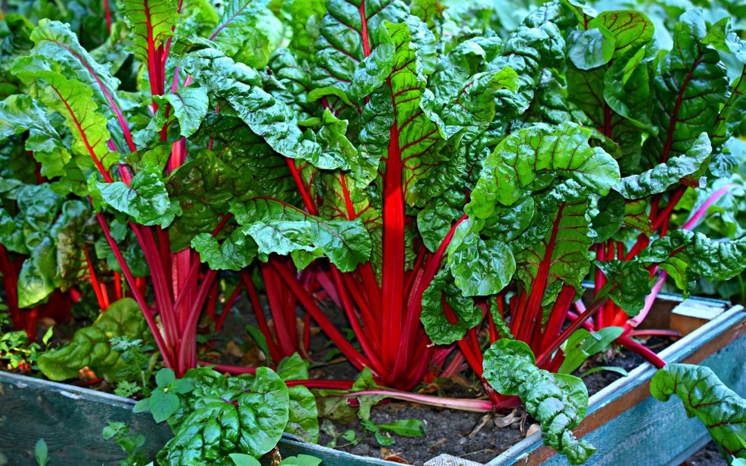 Swiss Chard for Dogs