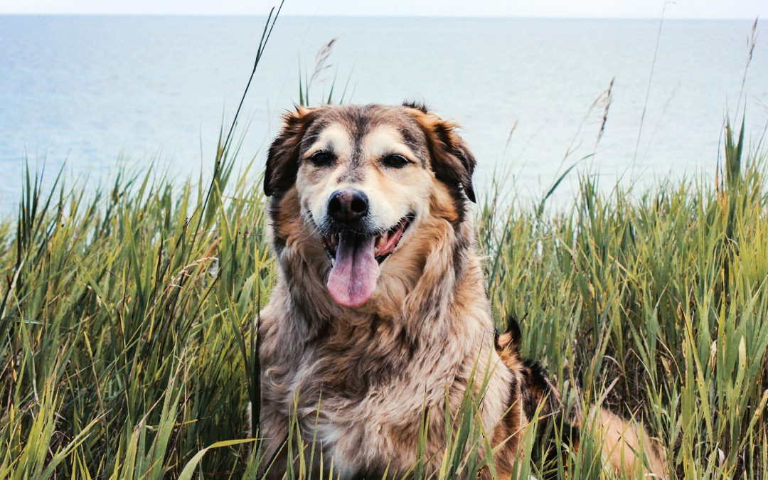 Why Fewer Dogs Are Growing Old