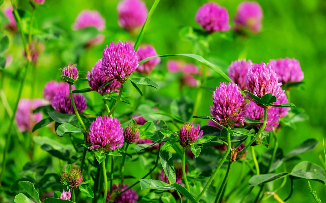 Red Clover for Dogs
